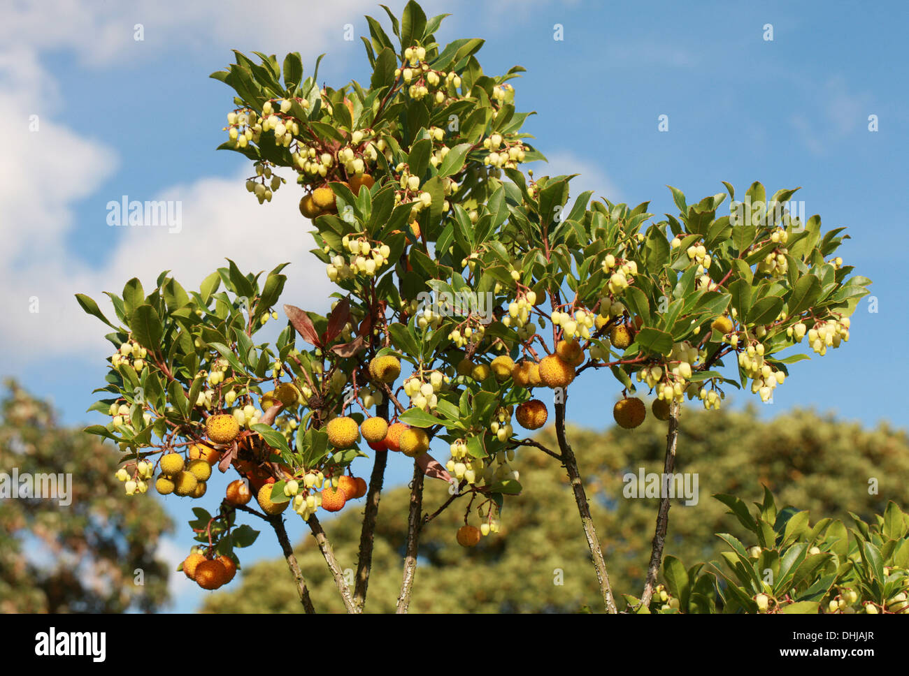 "Strawberry Tree, Arbutus unedo ""Elfin King"", Ericaceae. Flowers and Fruits. Stock Photo"