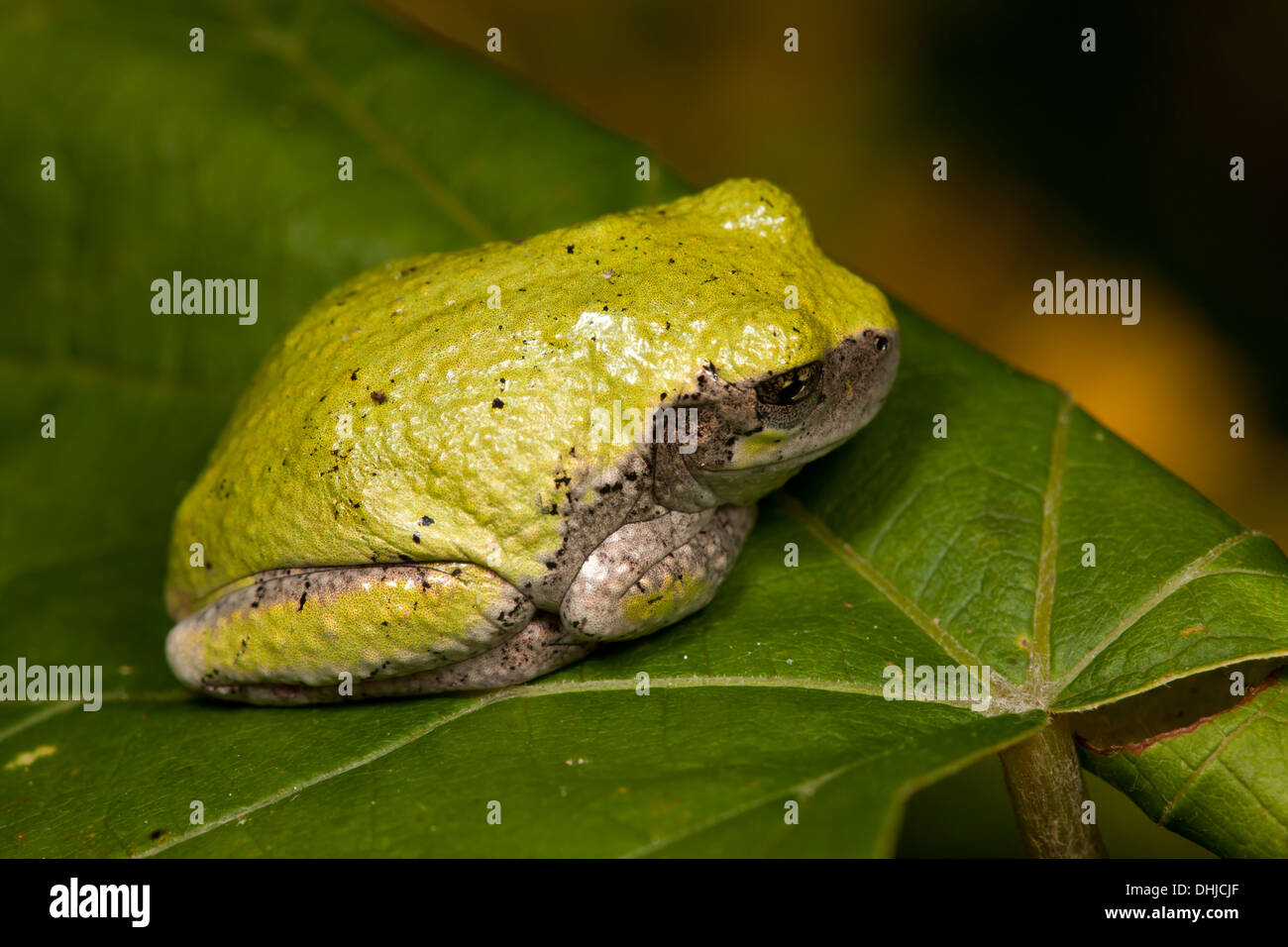 A Gray Treefrog (Hyla versicolor) sits on a leaf. - Stock Image