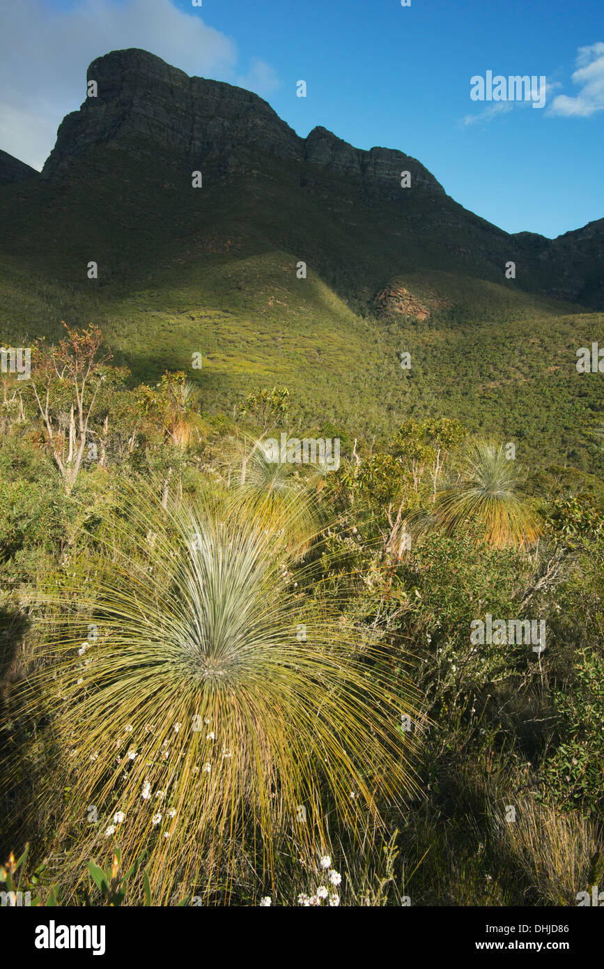 Grass tree (Kingia australis) below Bluff Knoll, Stirling Ranges National Park, Western Australia - Stock Image