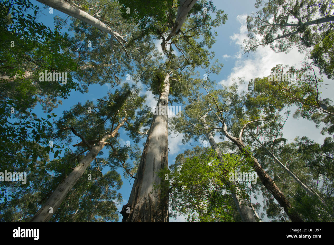 Giant Karri Trees (Eucalyptus diversicolor) Big Tree Grove, up to 90 meters tall, near Northcliffe, Western Australia - Stock Image
