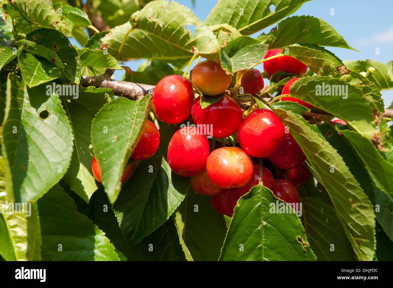 Cherries on tree - Stock Image