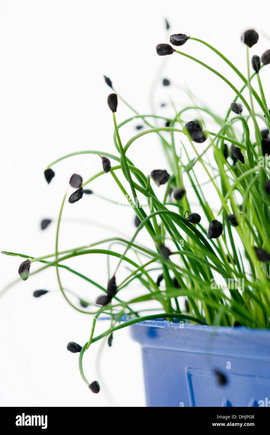 Homegrown bean sprouts, Salad, Homegrown - Stock Image