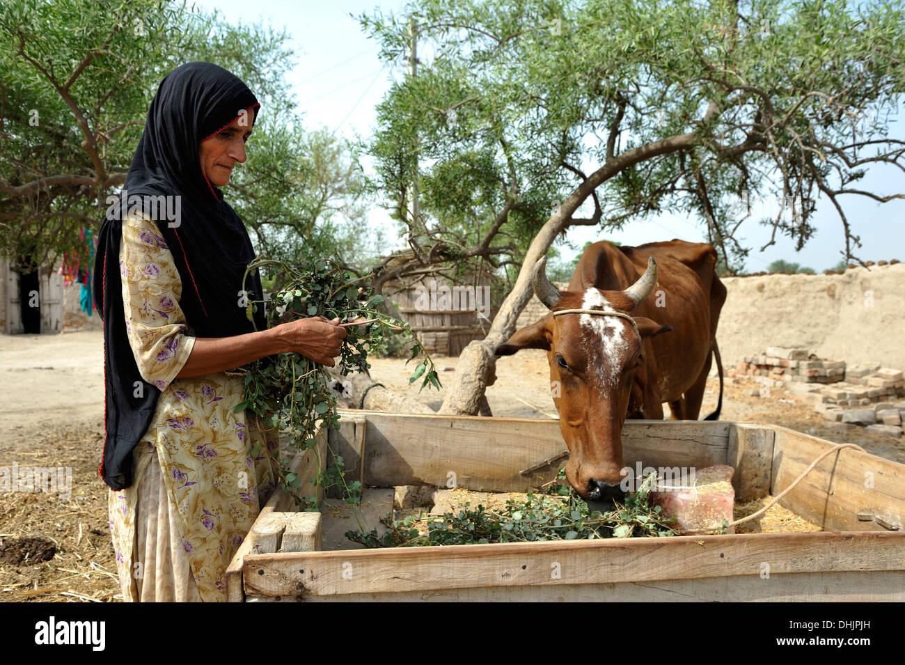 Woman Feeding Cow Stock Photos & Woman Feeding Cow Stock