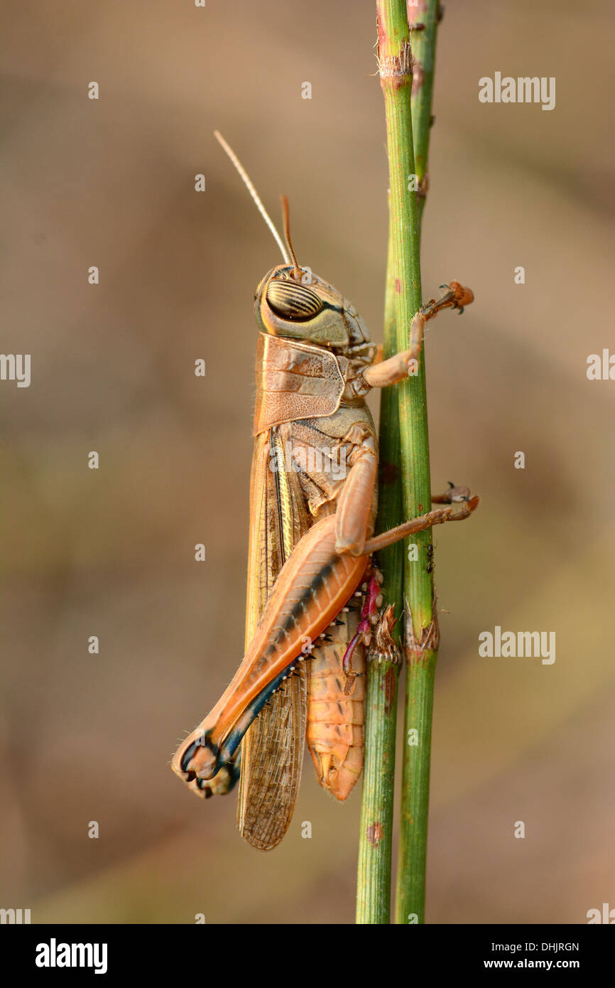 Grasshopper on stem - Stock Image