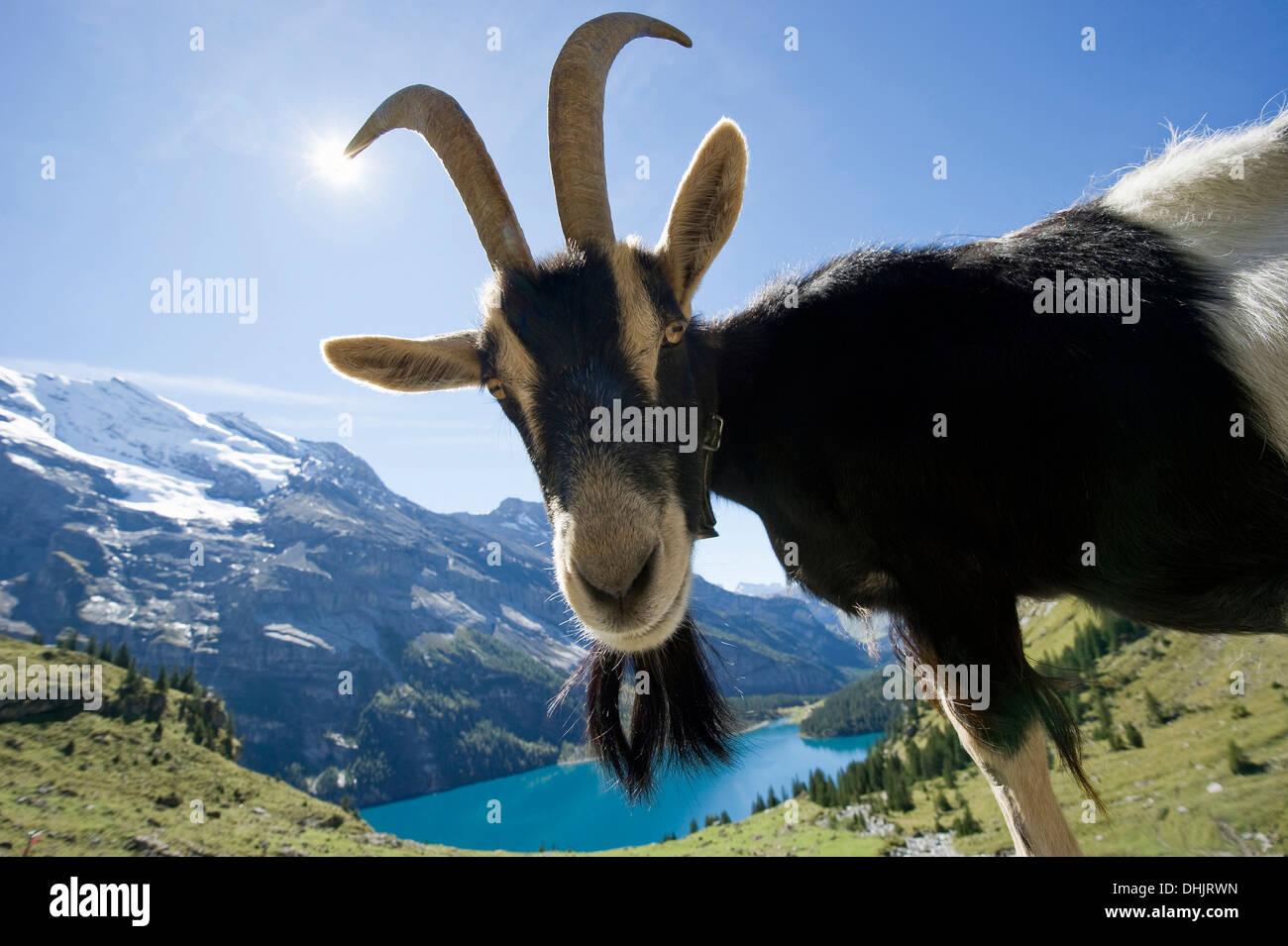 Goat and lake Oeschinensee, Kandersteg, Bernese Oberland, Canton of Bern, Switzerland, Europe Stock Photo