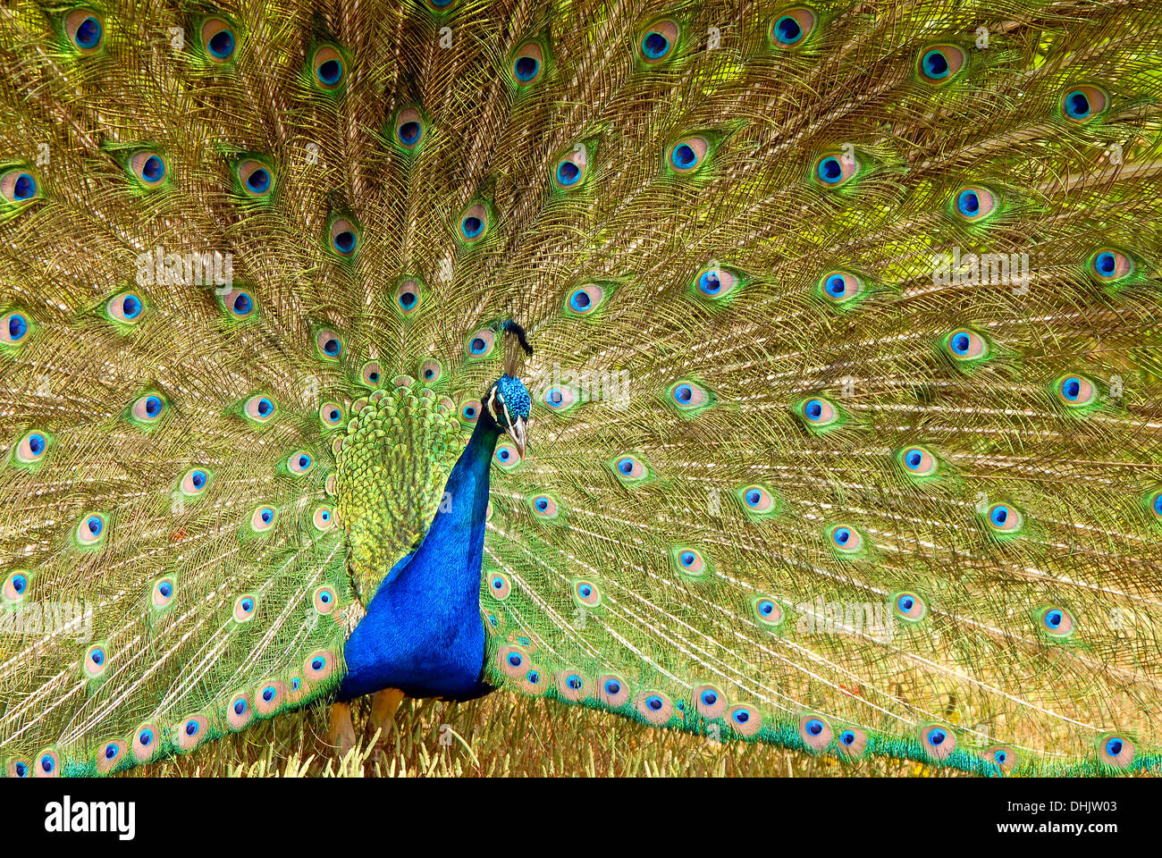 Indian Peacock  courtship display Stock Photo