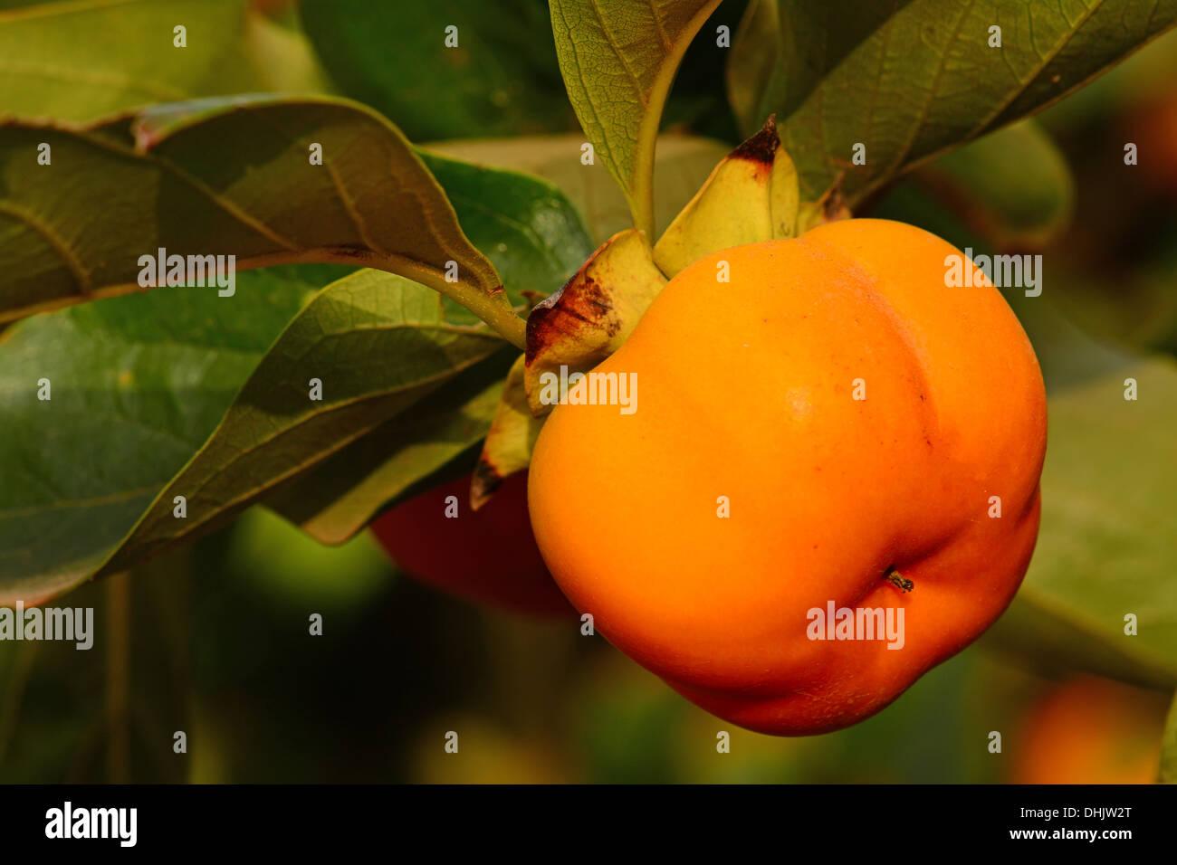 Persimmon, fruit on tree - Stock Image
