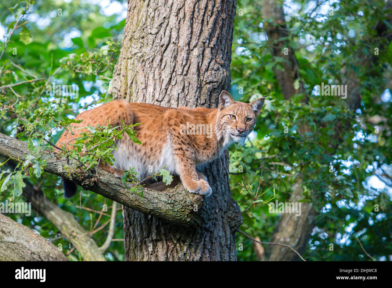 Lynx on a tree, Skalen zoo, Stockholm, Sweden, Europe - Stock Image