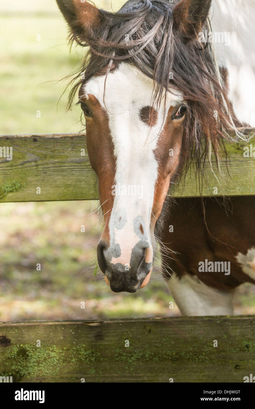 a brown and white colored horse looking over a fence - Stock Image