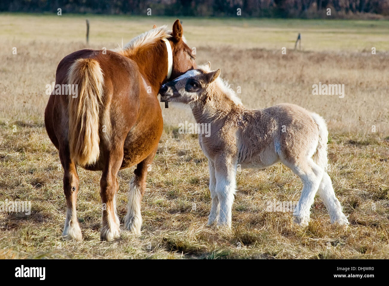 Horses, Mother and young, Pyrenees, Spain Stock Photo