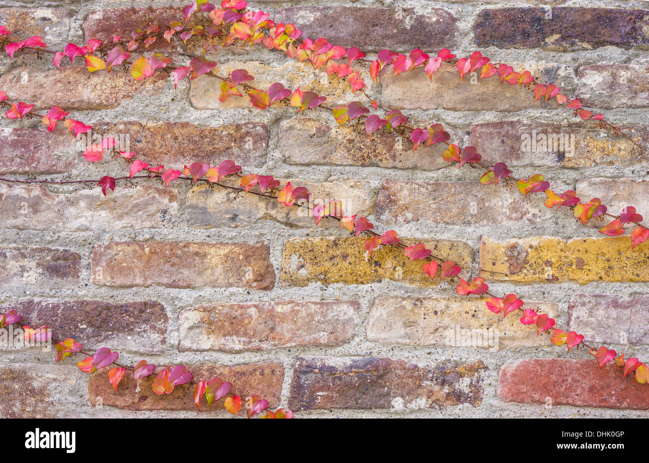 red, yellow and violet tinged ivy tendrils on an old brick wall - Stock Image