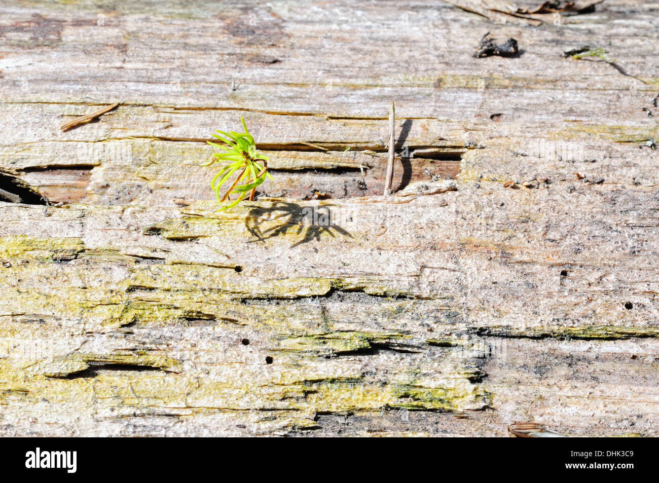 Seedling of a spruce in old wood Stock Photo