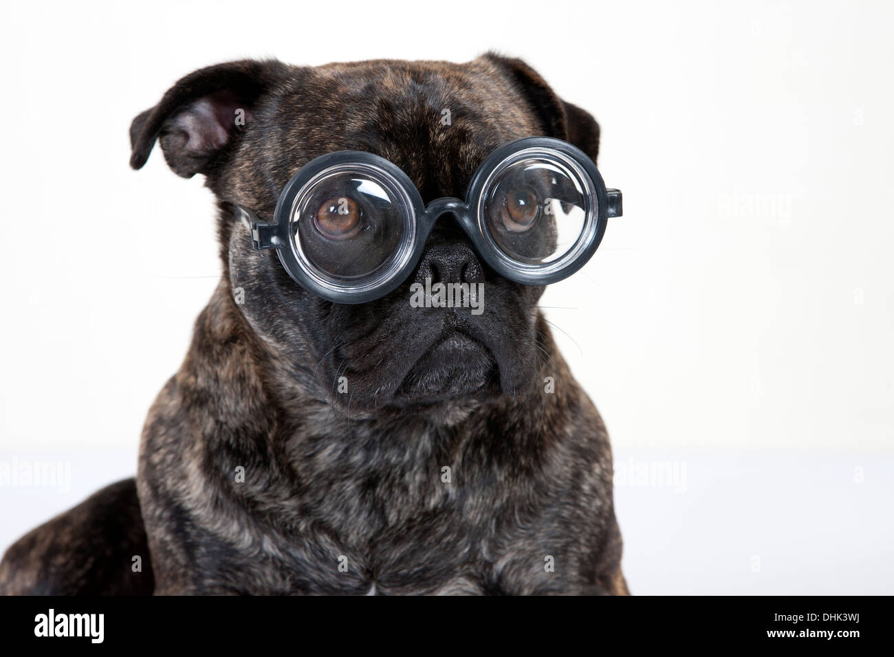 pug french bull dog with glasses - Stock Image