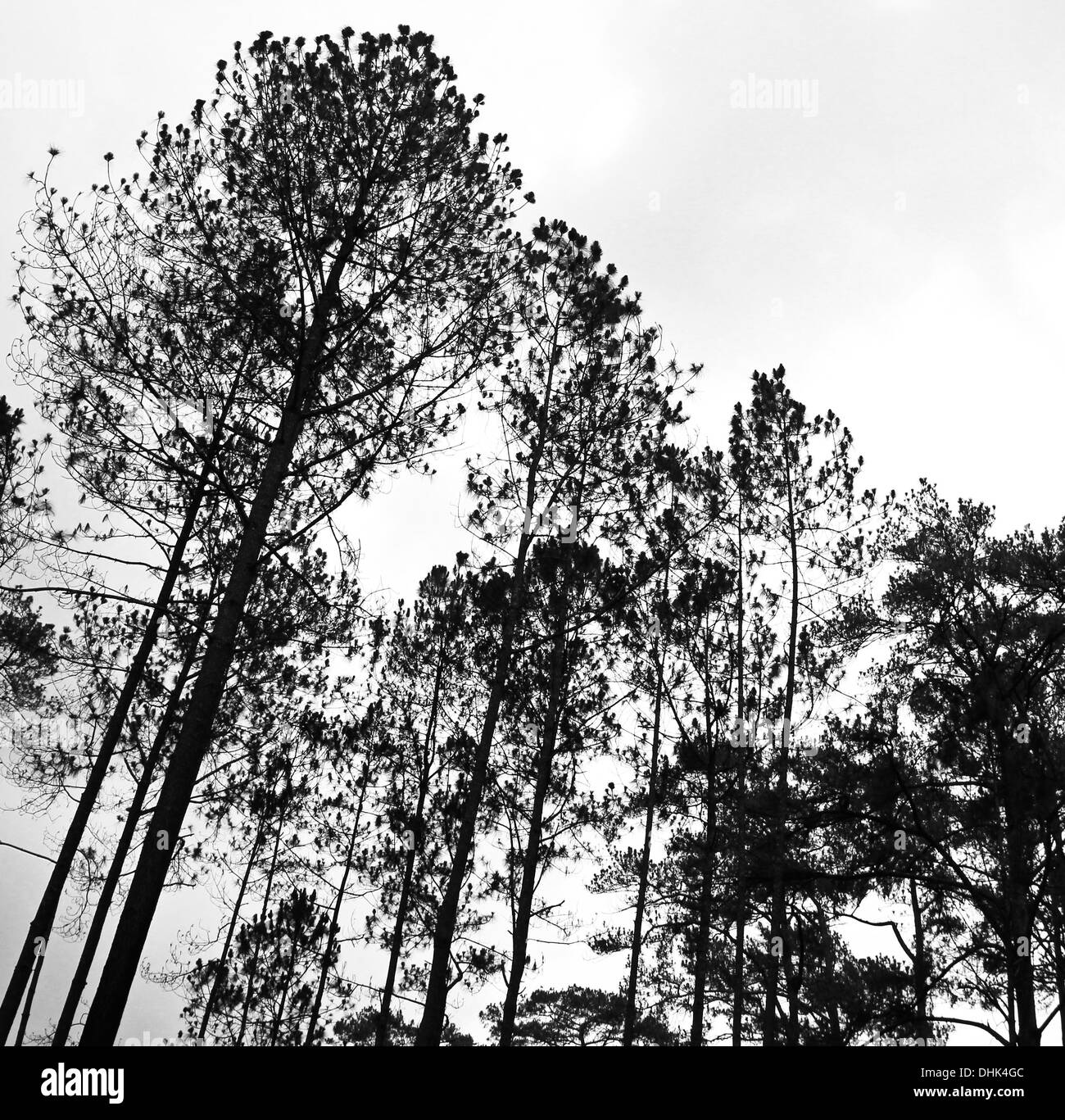 Abstract black and white image of tree tops in the forest. - Stock Image