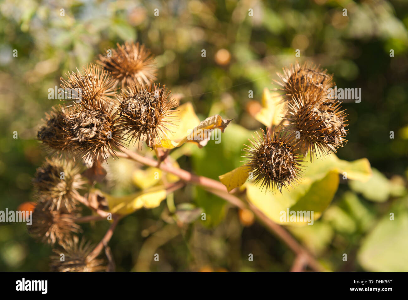 seed fruit cases of burdock plant whose hook tipped burrs inspired
