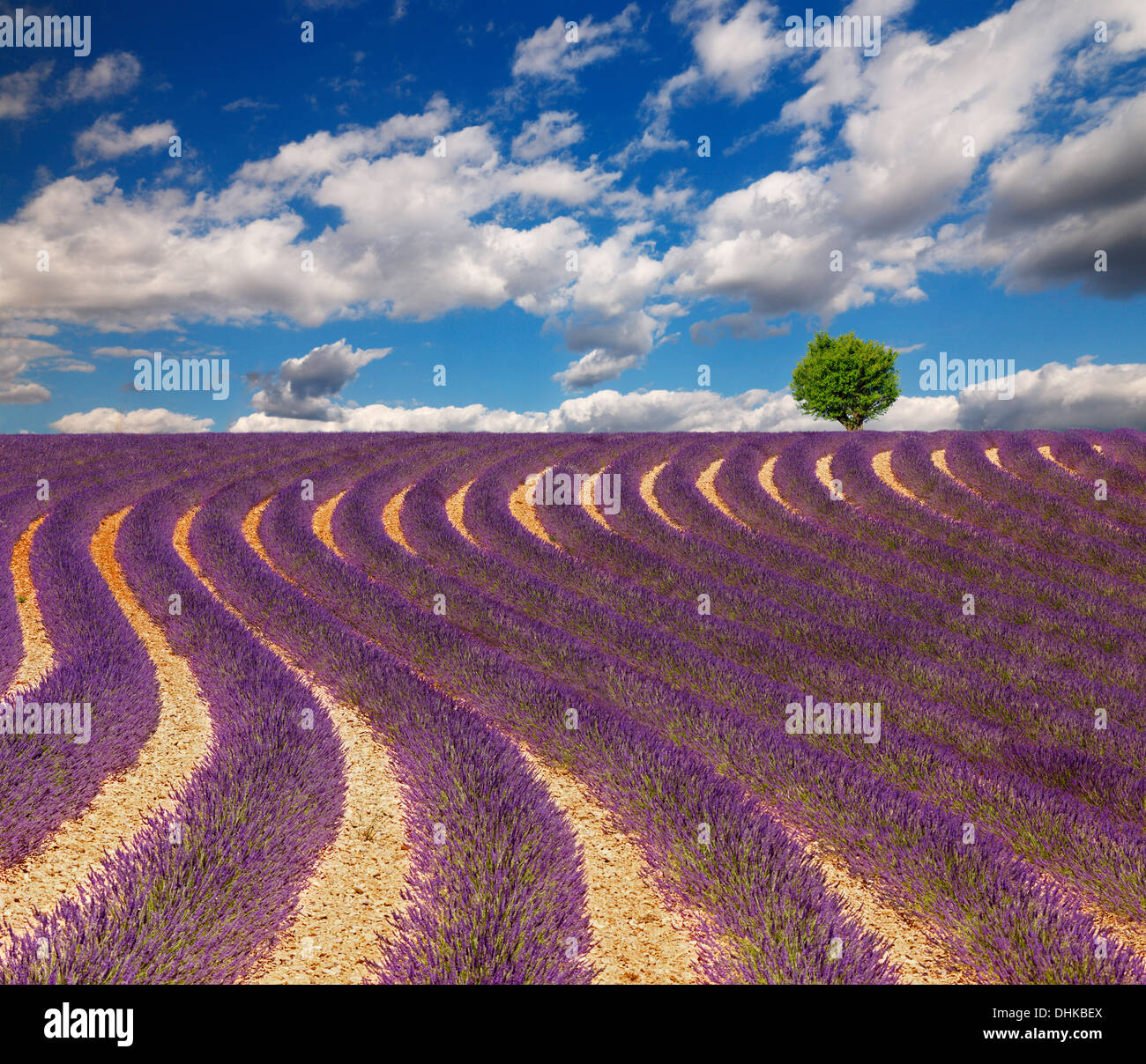Lavender field with beautiful clouds and one tree on the horizon. France, Provence. - Stock Image