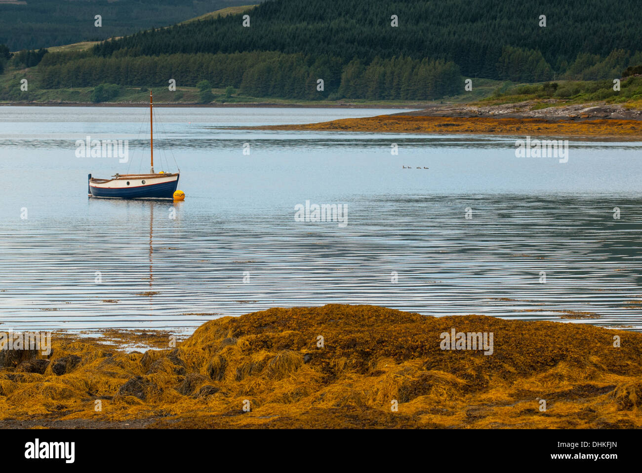 Blue yacht in bay of seaweed with forest behind. - Stock Image
