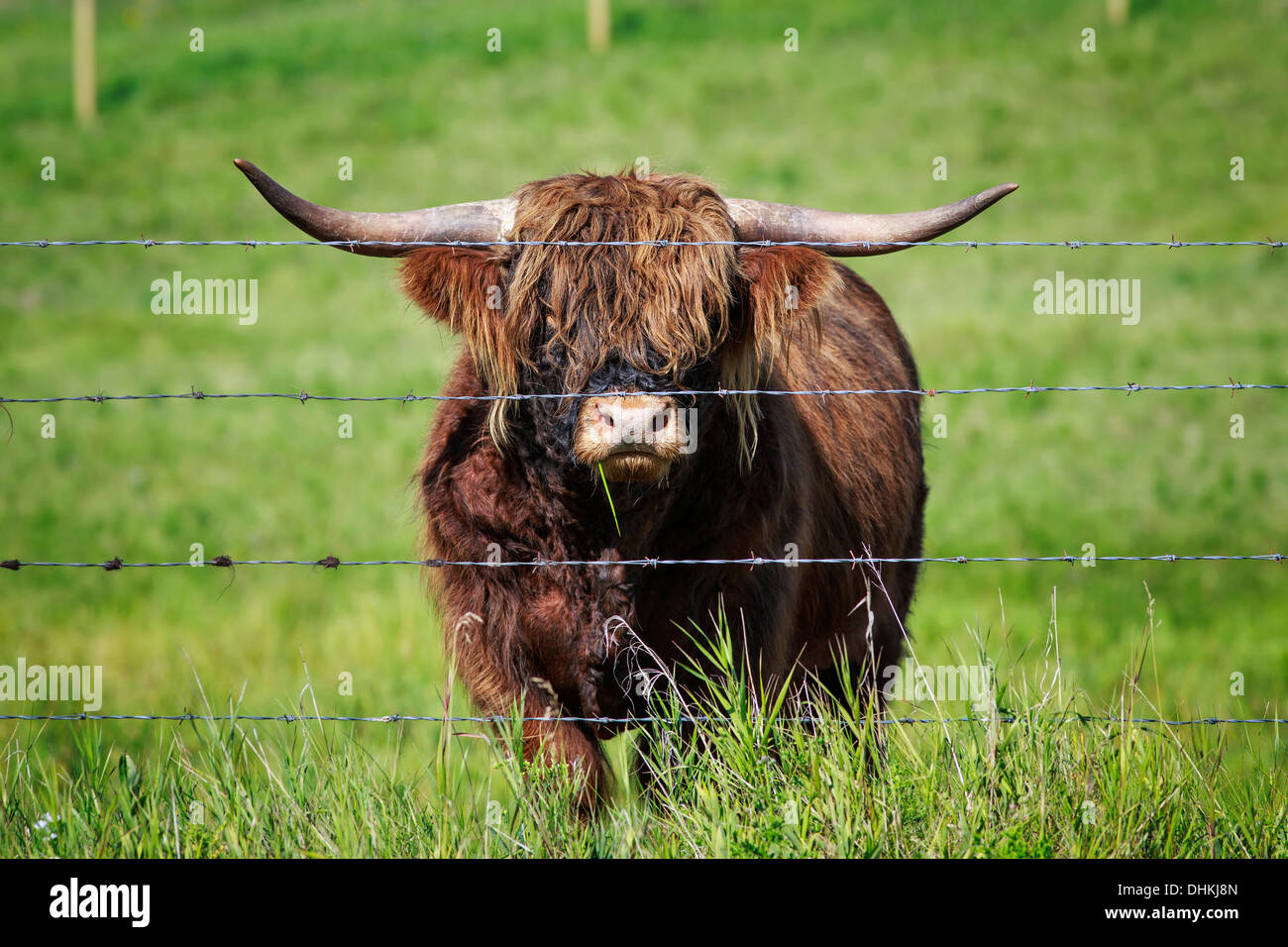 Portrait of Highland Cattle behind barbed-wire, Kananaskis Country, Alberta, Canada - Stock Image