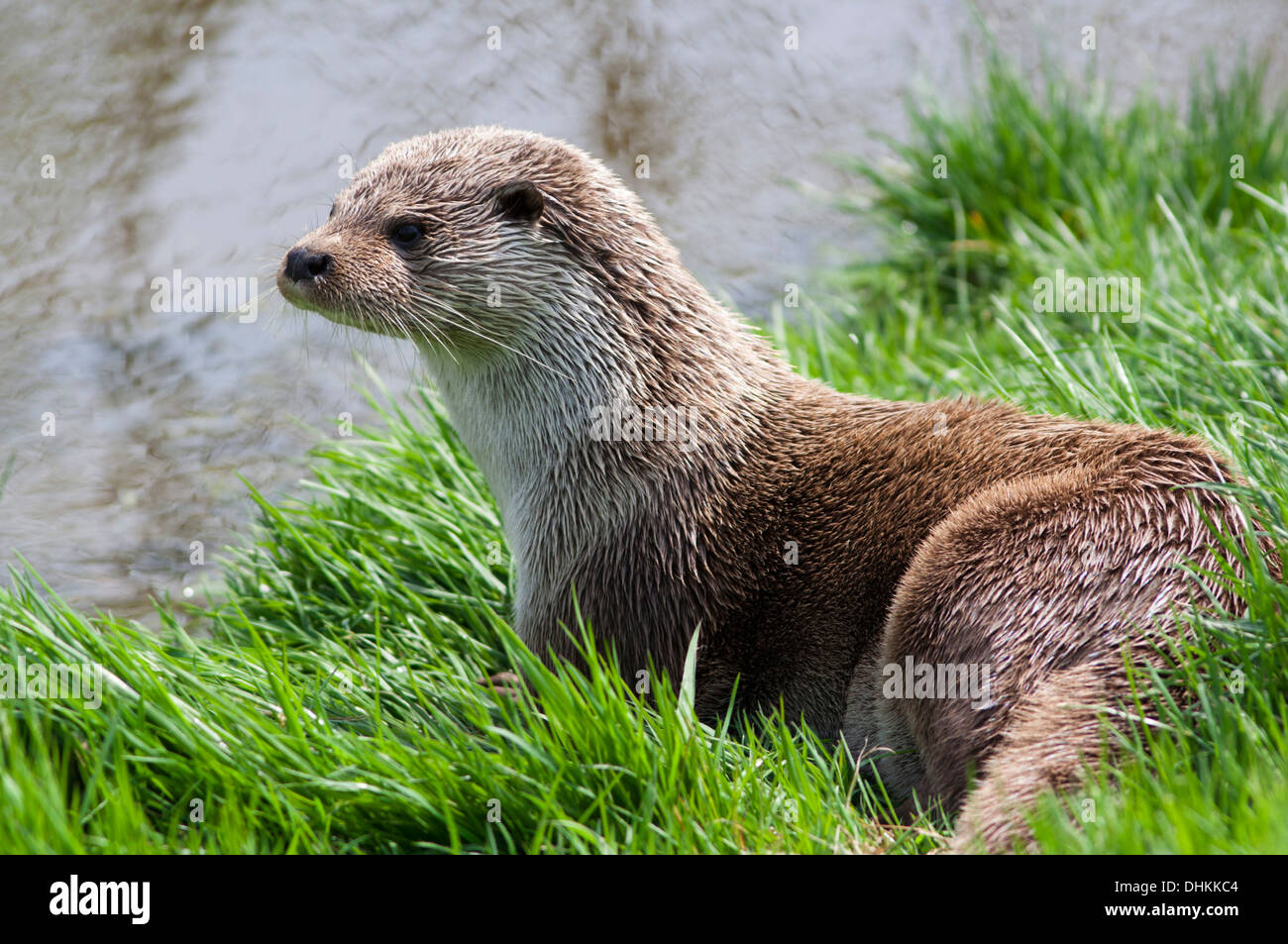 European Otter by the riverbank, UK (lutra lutra) Springtime - Stock Image
