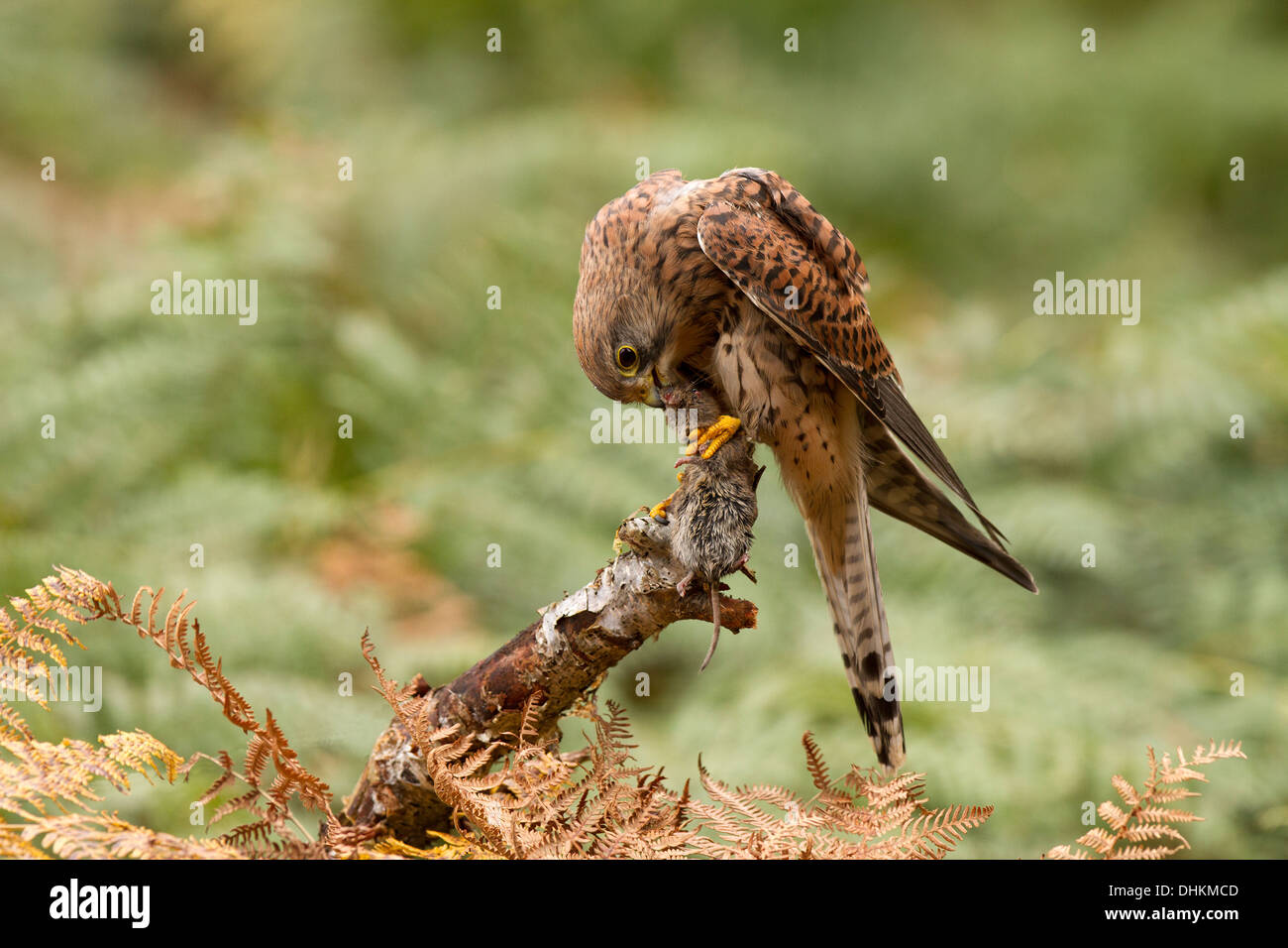 Kestrel, Falco tinnunculus with its prey, in bracken - Stock Image