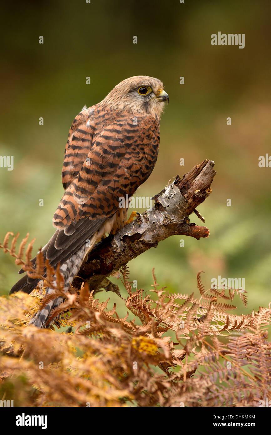 Kestrel, Falco tinnunculus with its prey, in bracken - Stock Image