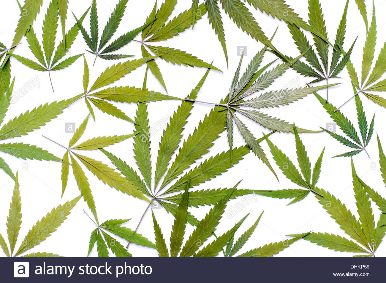 Marijuana (Cannabis sativa) leaves on white - Stock Image