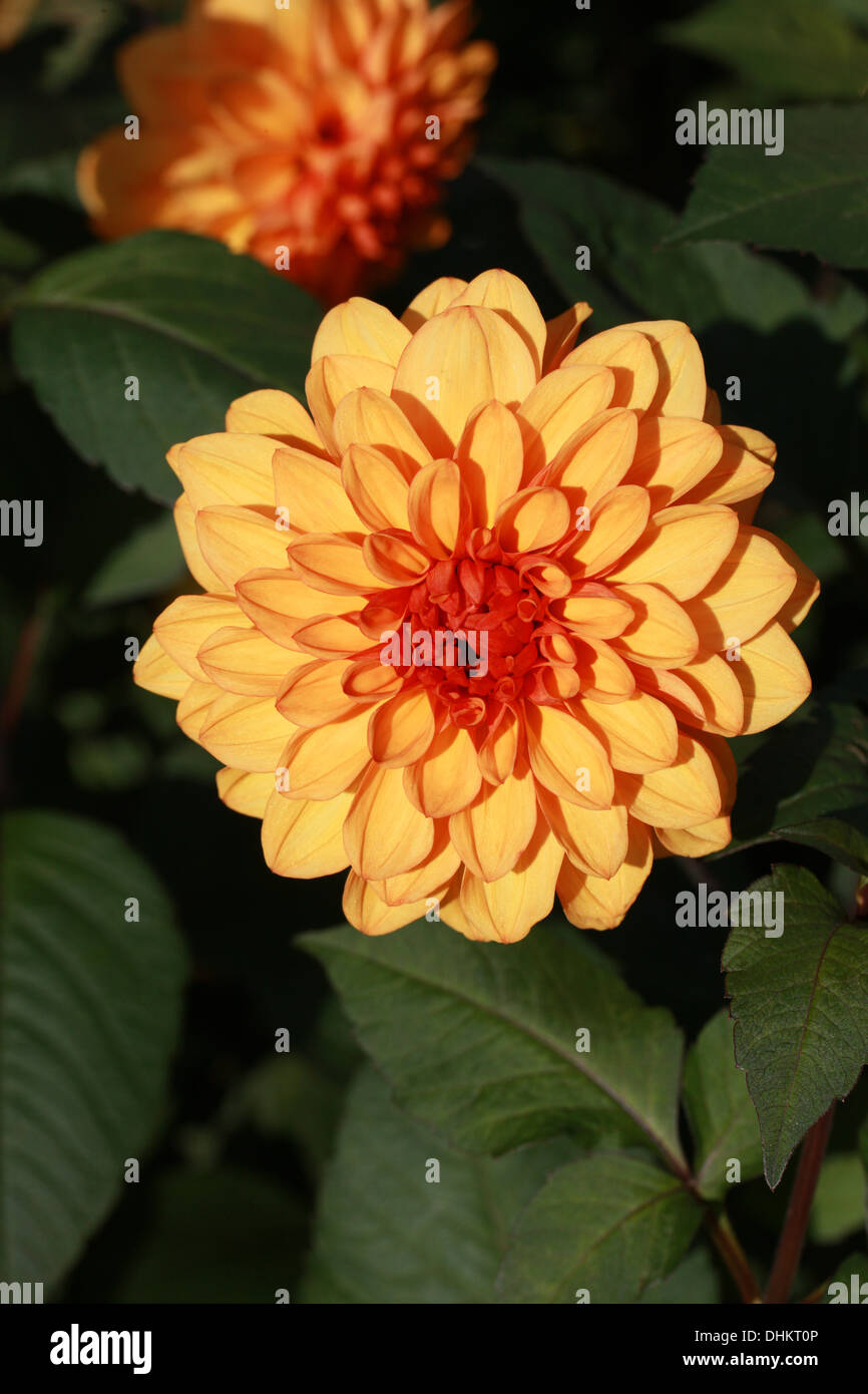 Orange Dahlia Flower Asteraceae Stock Photo 62516182 Alamy