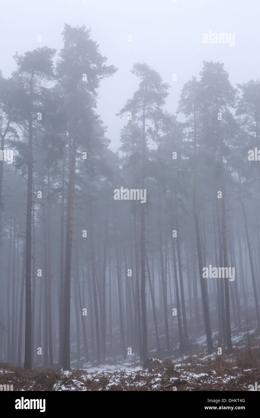 Pine trees in winter shrouded in fog with a light dusting of snow on the ground, Cannock - Stock Image