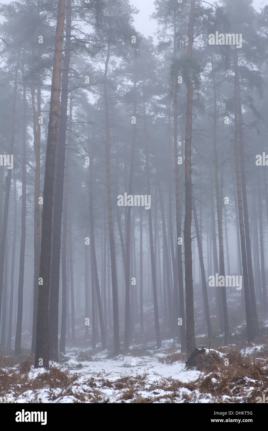 Pine trees in winter shrouded in fog with a light dusting of snow on the ground, Cannock Stock Photo