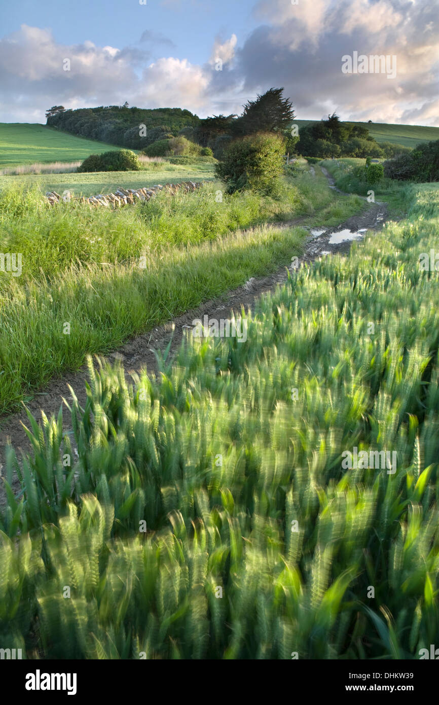 The strong rays of light at sunrise lights up wheat growing at the corner of a field at West Fleet, Dorset, with Stock Photo