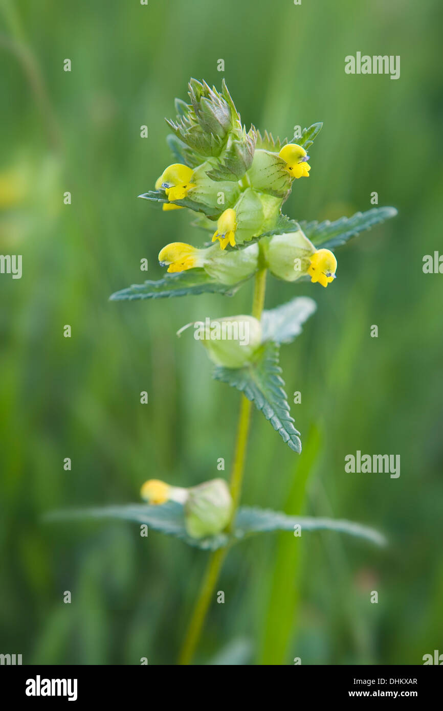 Yellow Rattle, Rhinanthus minor, growing in a wildflower meadow. Stock Photo