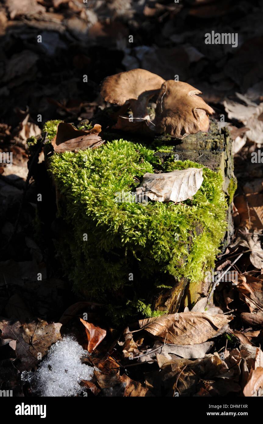 Treestump with moss and mushrooms Stock Photo