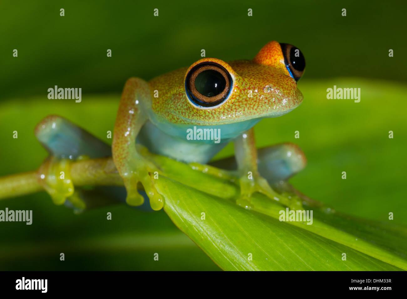 Frog, Boophis viridis, Analamazaotra Special Reserve, Andasibe Mantadia National Park, Madagascar Stock Photo