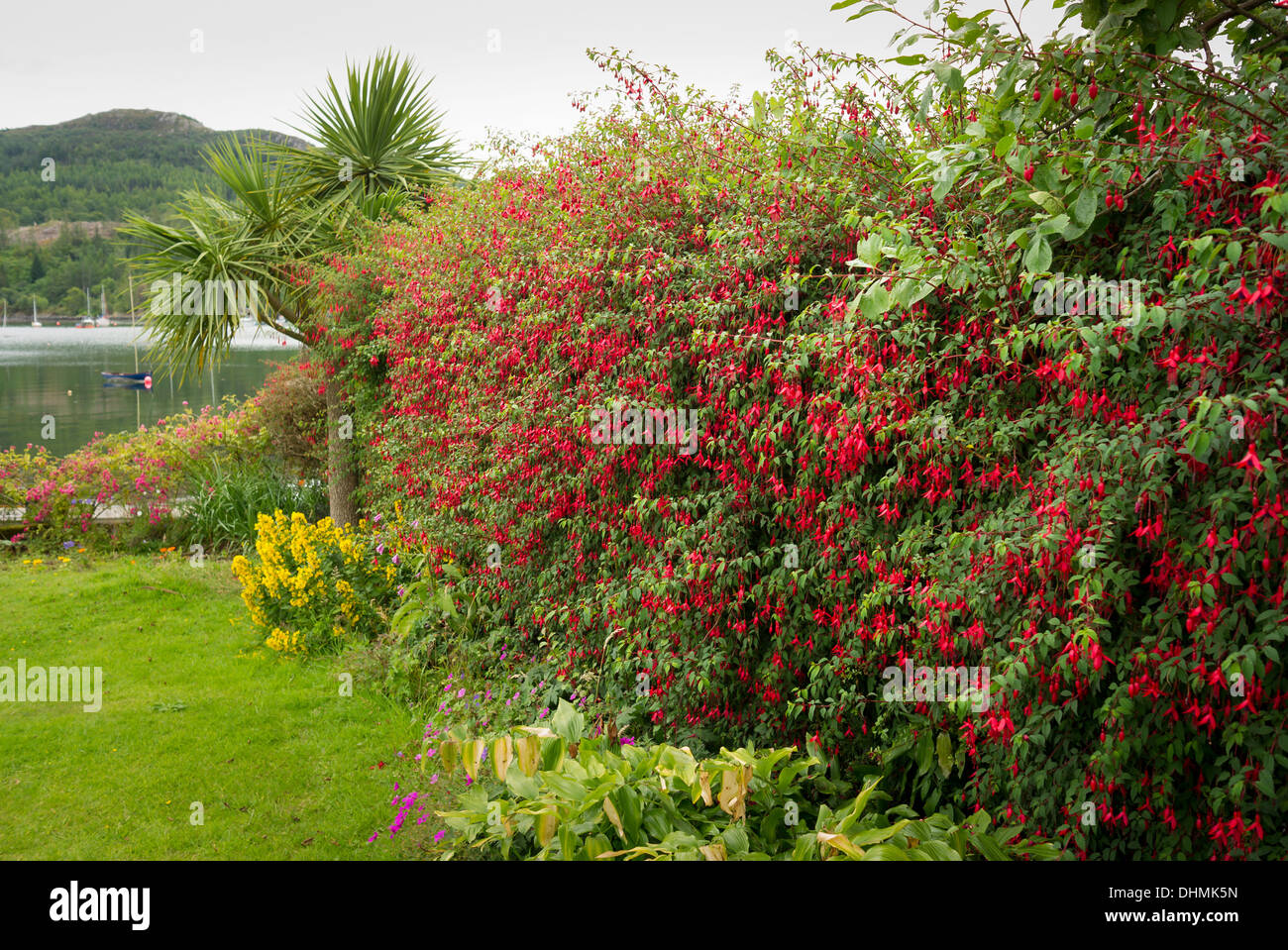 A hardy fuchsia flowering hedge in a small coastal garden in ...