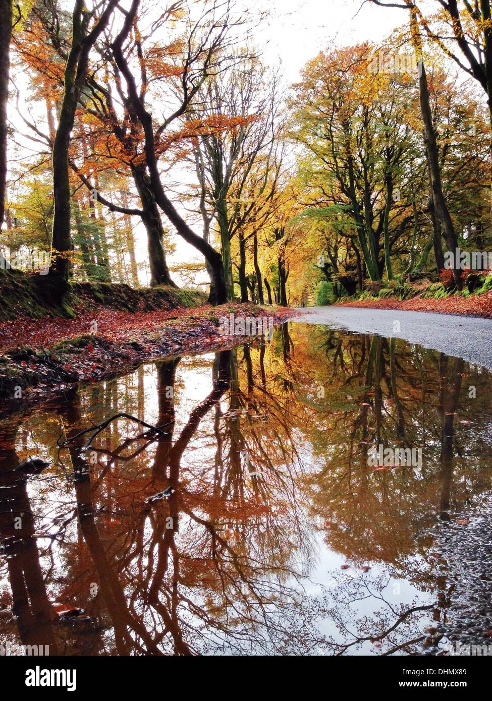 Haldon Forest, Devon, UK. 13th November 2013. UK weather. Autumn in full glorious swing after the first frost. Credit nidpor/Alamy Live News - Stock Image