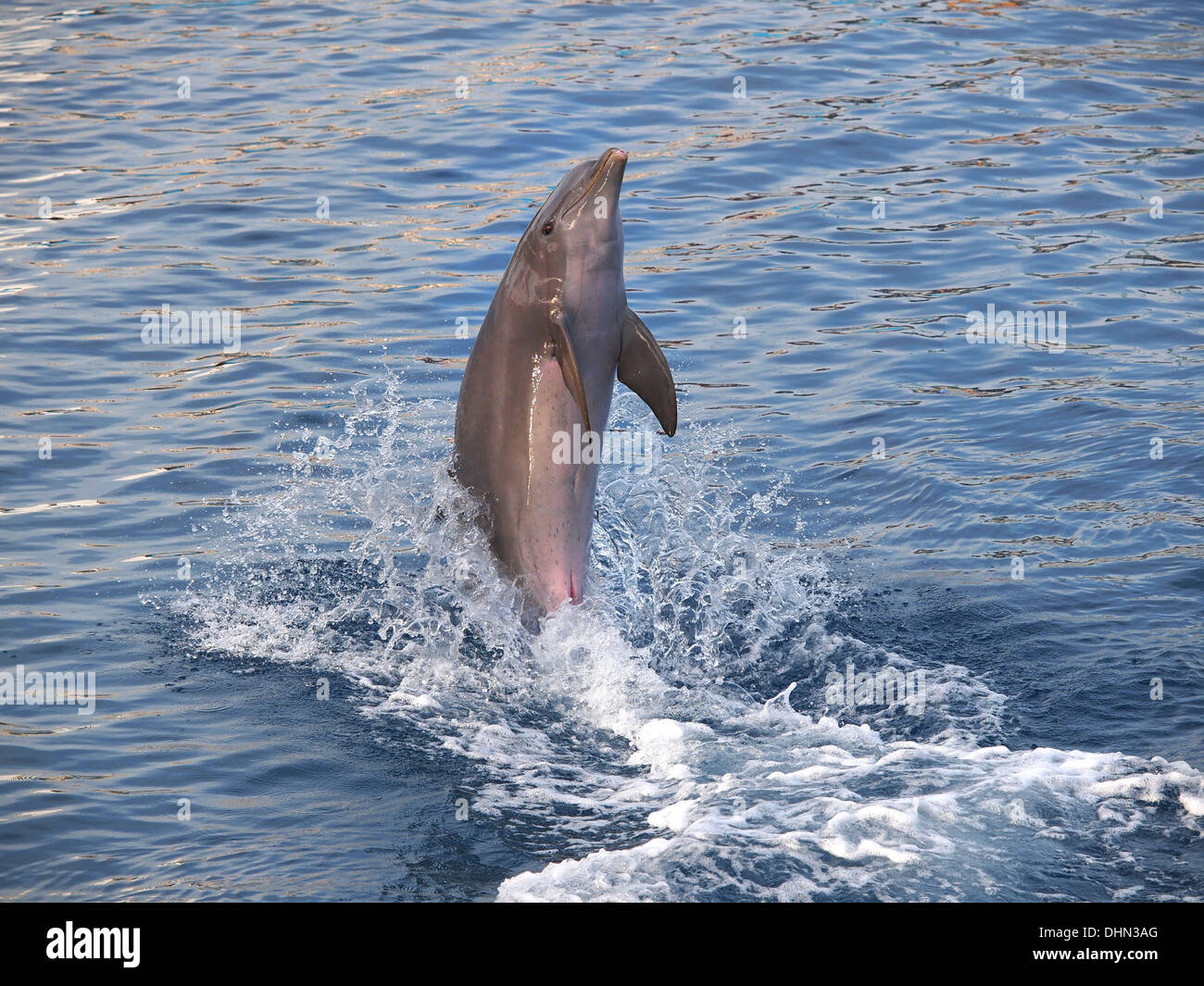 dolphin standinh on the tail  - Stock Image