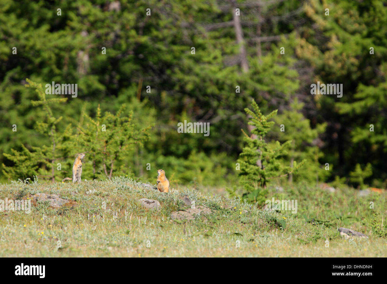 Long-tailed Ground Squirrells (Spermophilus undulatus) in their habitat. At the meadow by the lake Baikal, Siberia, Stock Photo