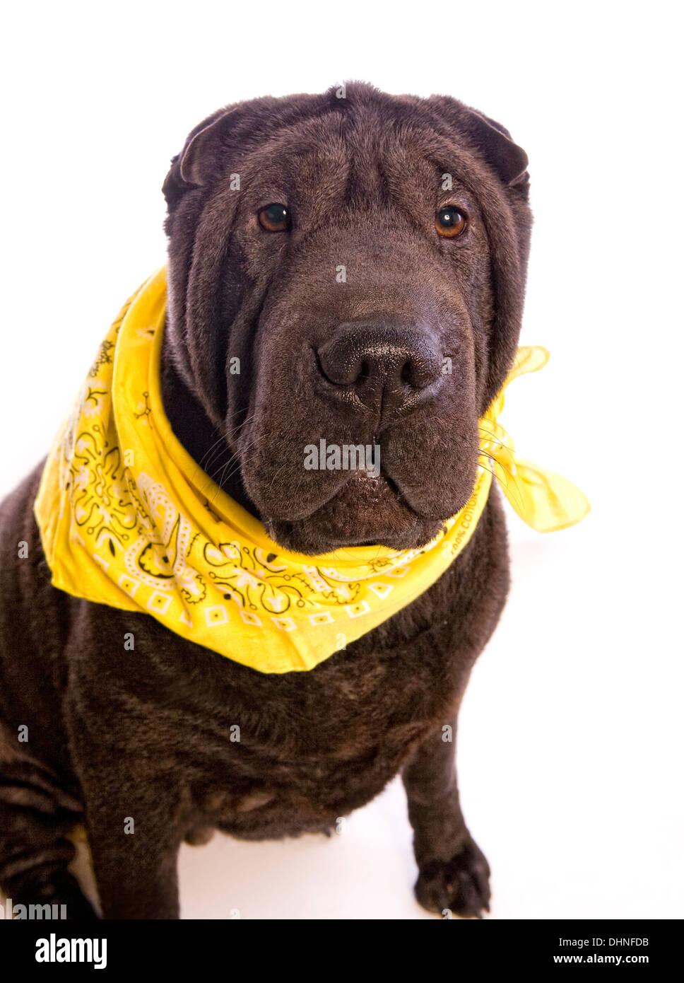 Black Shar Pei Dog Wearing Yellow Scarf Isolated On White Background
