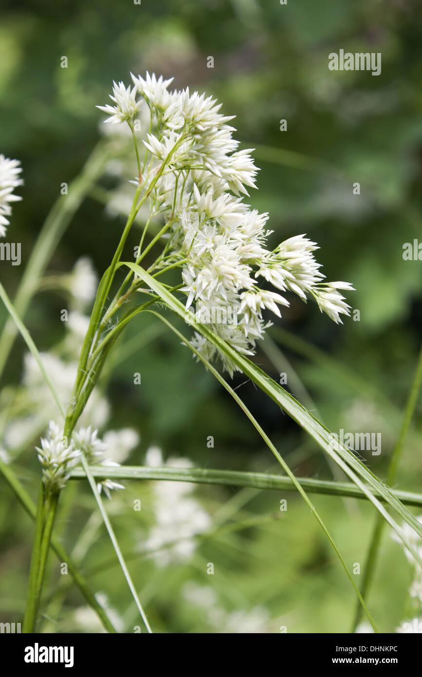 luzula nivea - Stock Image