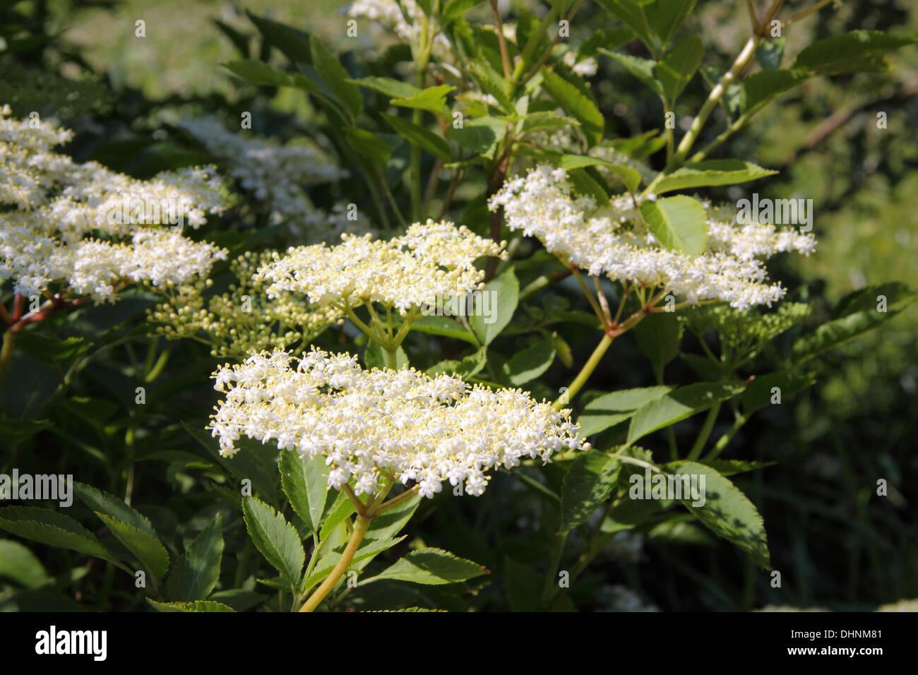 elder tree - Stock Image