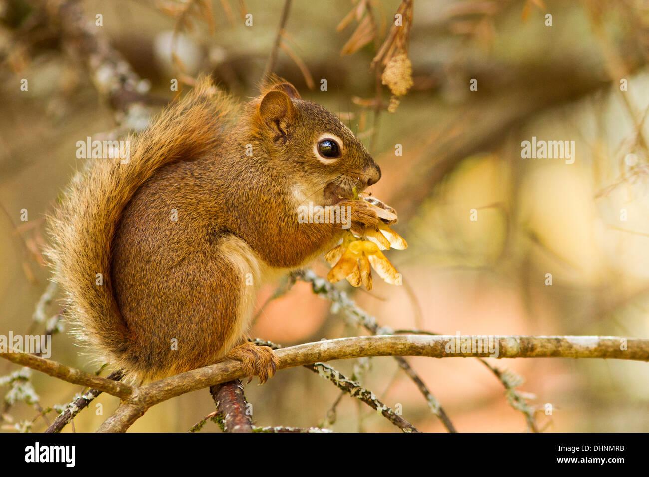 American red squirrel in autumn light(Tamiasciurus hudsonicus) - Stock Image