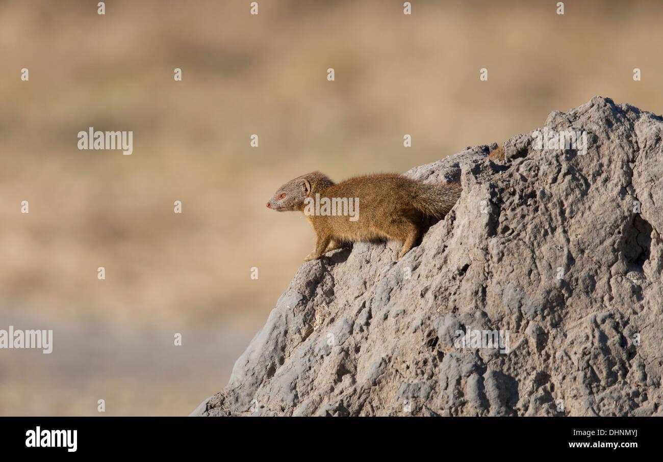 One mongoose at the Okavango Delta - Stock Image