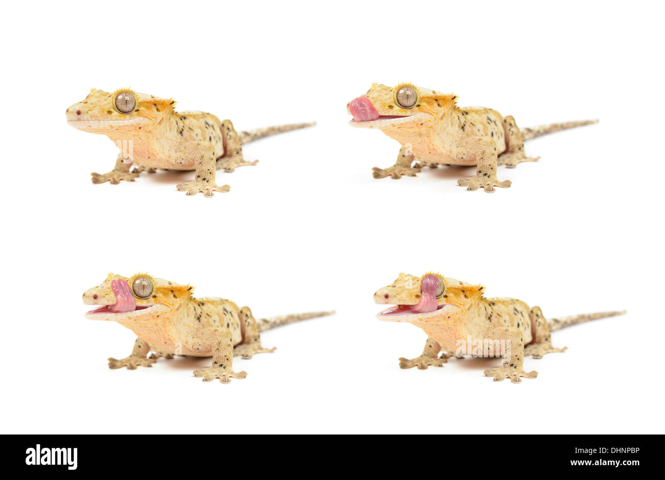Several Crested geckos on white background. - Stock Image