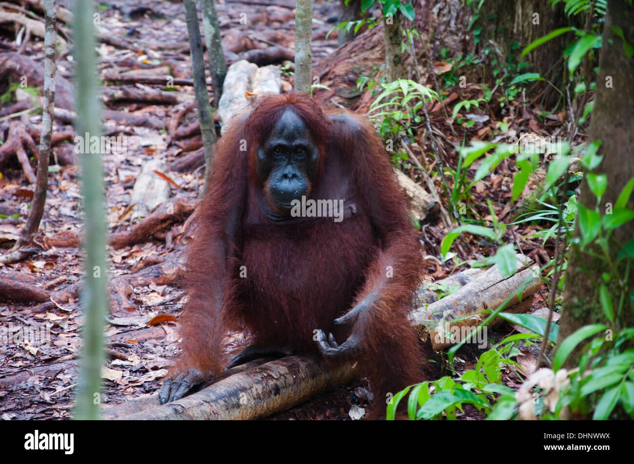 Orangutan sitting on a tree branch (Tanjung Puting National Park - Kalimantan) - Stock Image