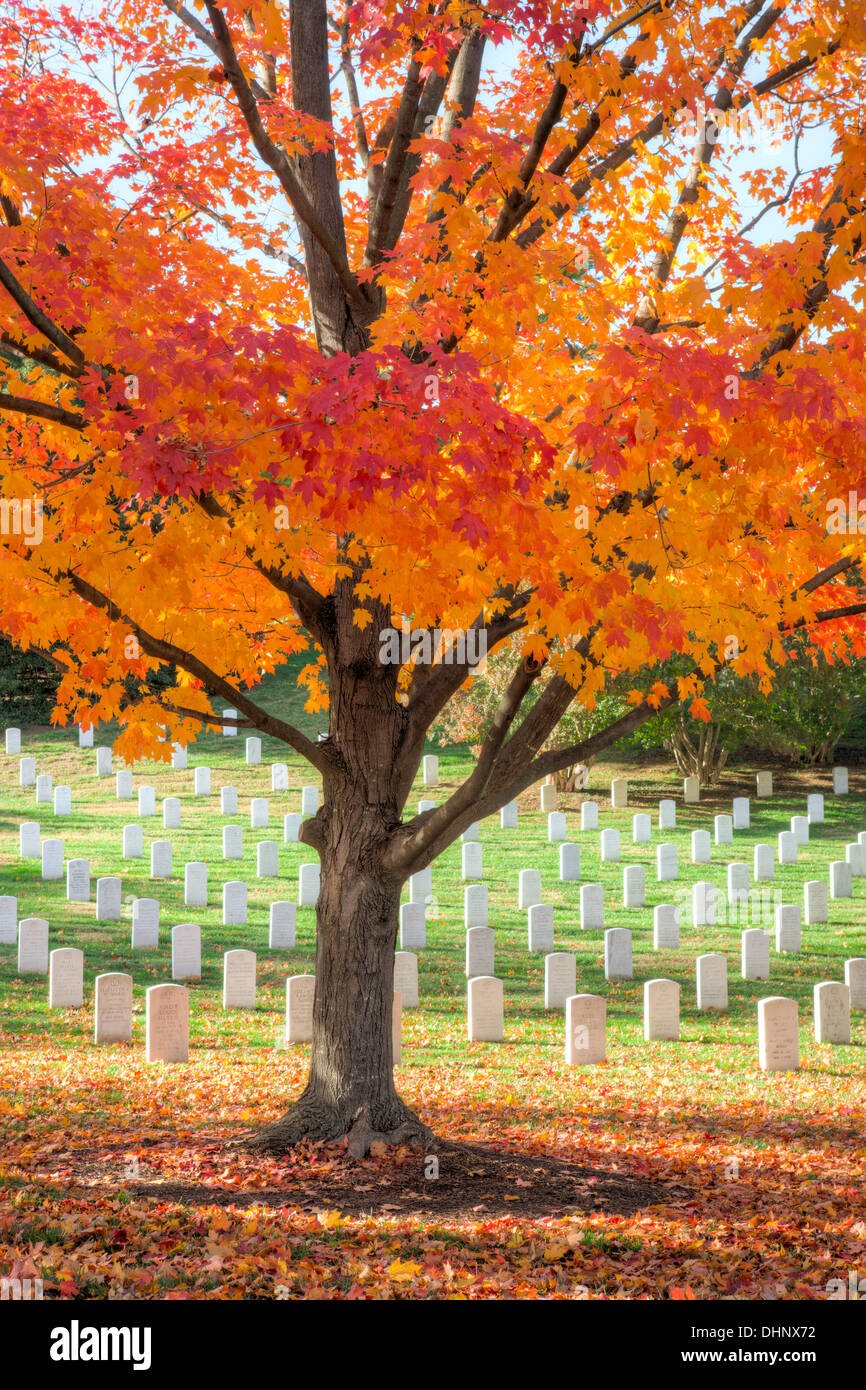 Maple trees add peak fall color to the grounds of Arlington National Cemetery in Arlington, Virginia. - Stock Image