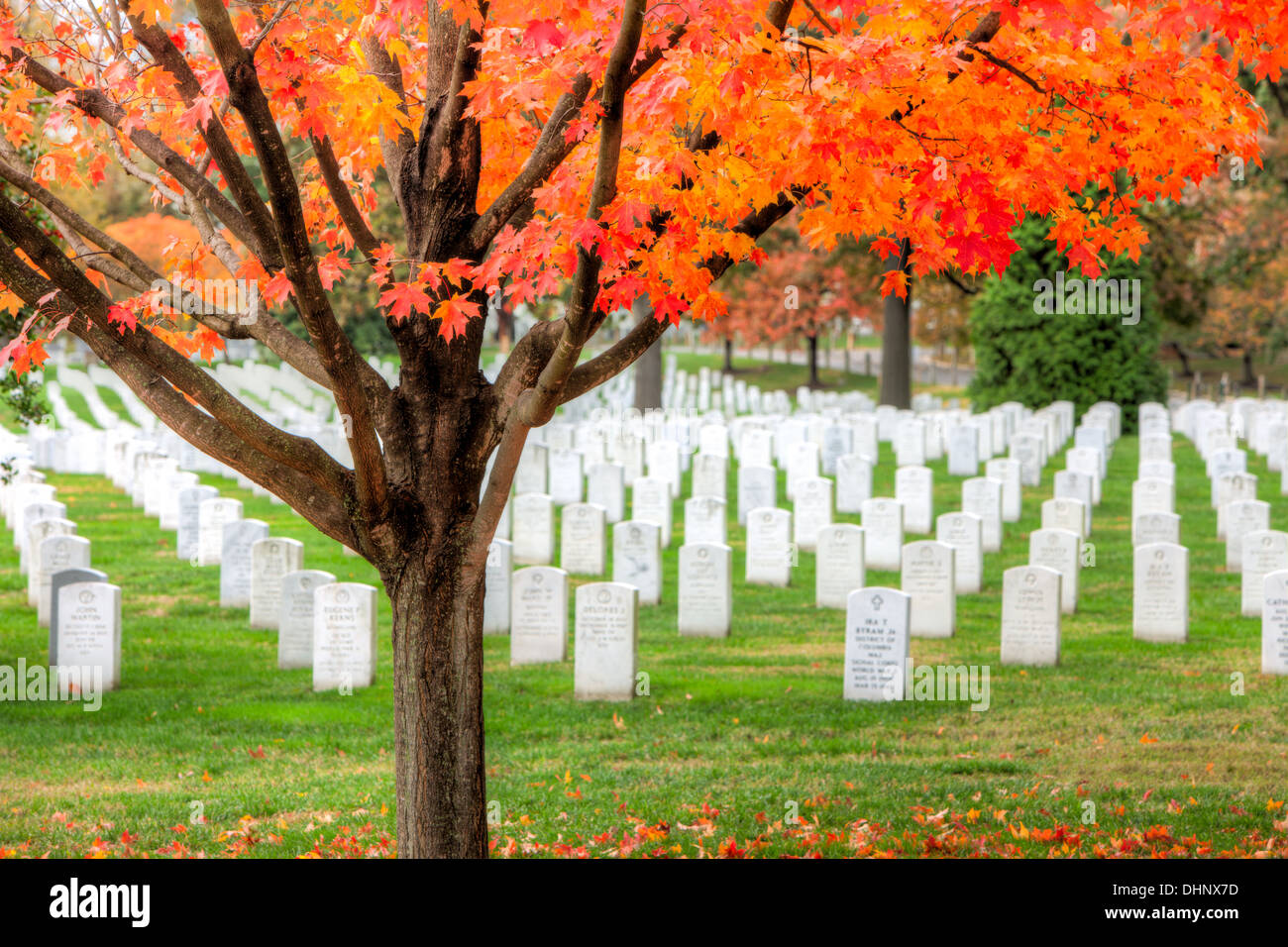Maple trees add peak fall color to the grounds of Arlington National ...