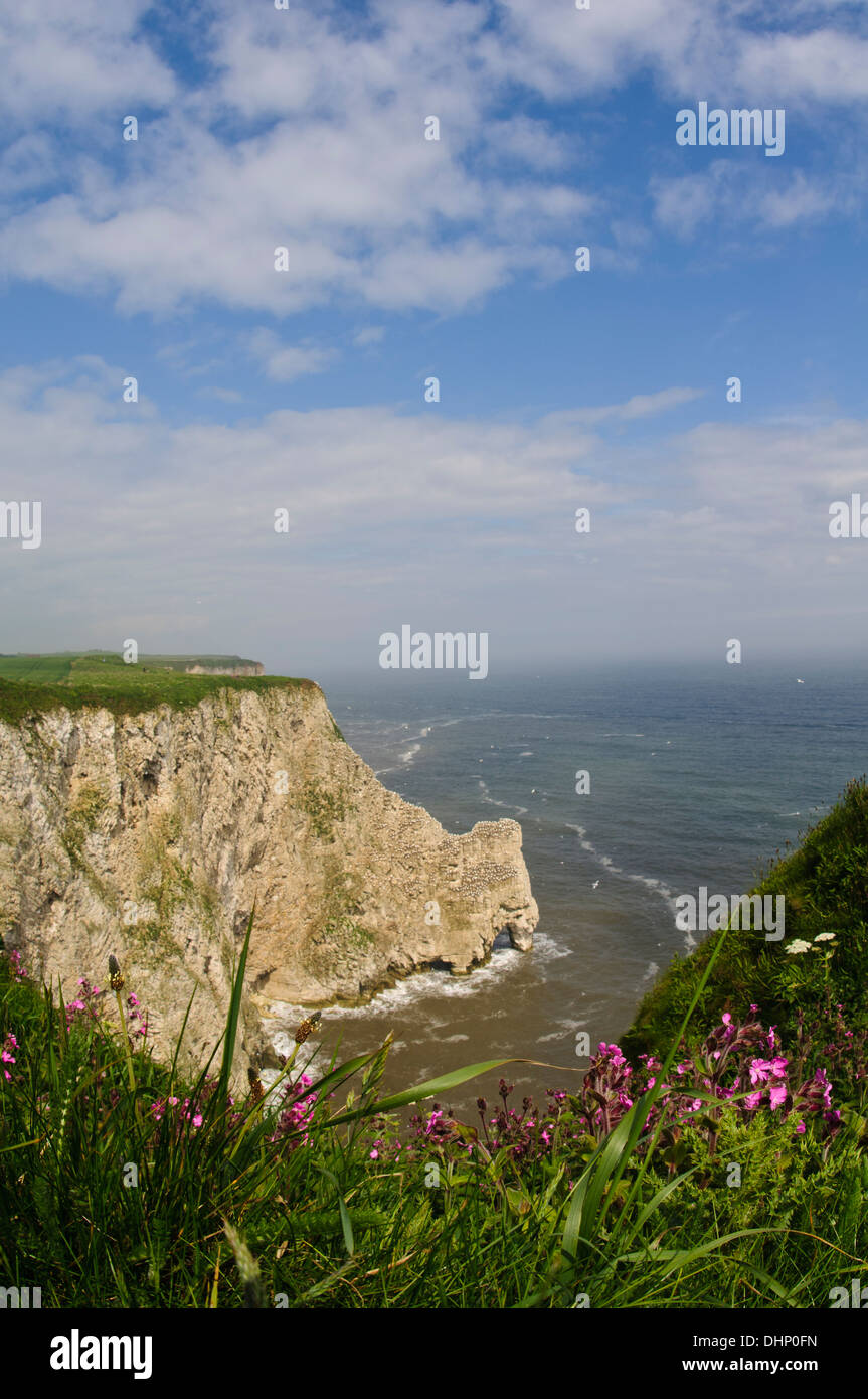 The colony of northern gannets (Morus bassanus) on the cliffs at Staple Newk, with red campion (Silene dioica) Stock Photo