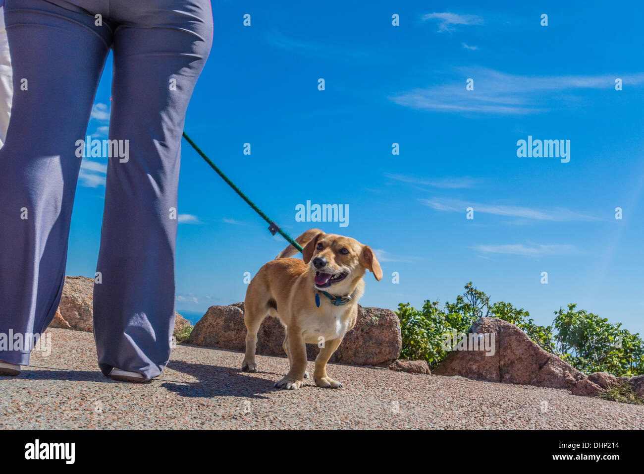 Family dog on leash at Acadia National Park stands by the legs of its owner. - Stock Image