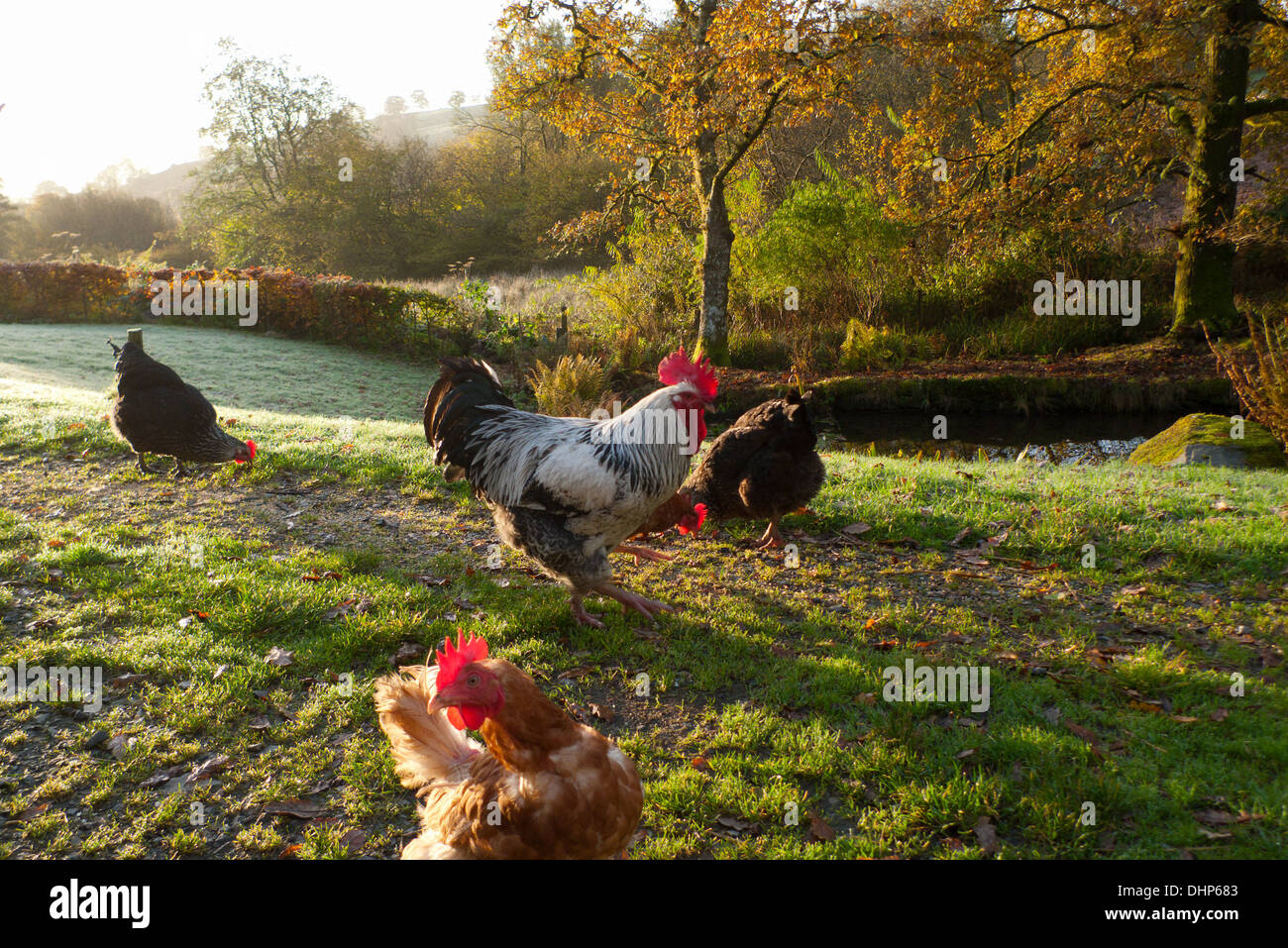 Free range chickens hens rooster in yard pecking at grain on an autumn morning with view of the countryside iin Stock Photo