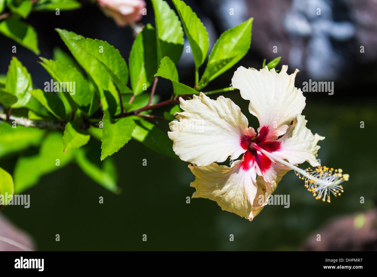 White Hibiscus Flowers Stock Photo: 62579531 - Alamy